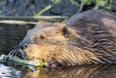 Trapping Beavers